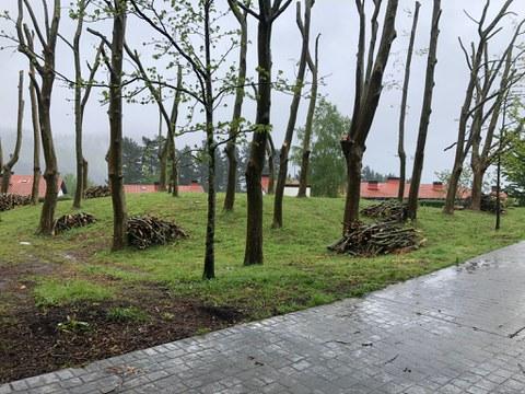 El lunes se repartirá la madera procedente de la poda de los plataneros de San Roke oste